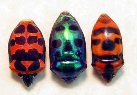 Scutelleridae Set Man Face Beetles