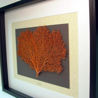 Alcyonacea sp Red Sea Fan Coral Real Framed Ocean Nautical Art Diving Specimen