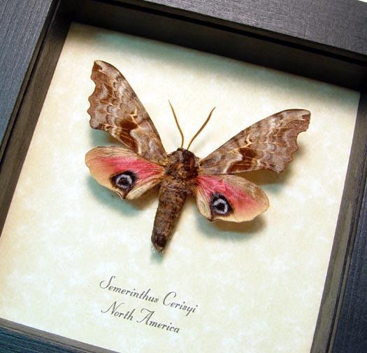 Smerinthus cerisyi Sphinx Moth