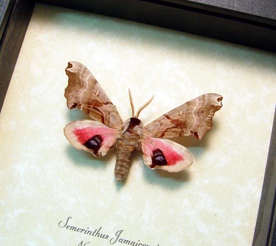 Smerinthus jamaicensis Sphinx Moth
