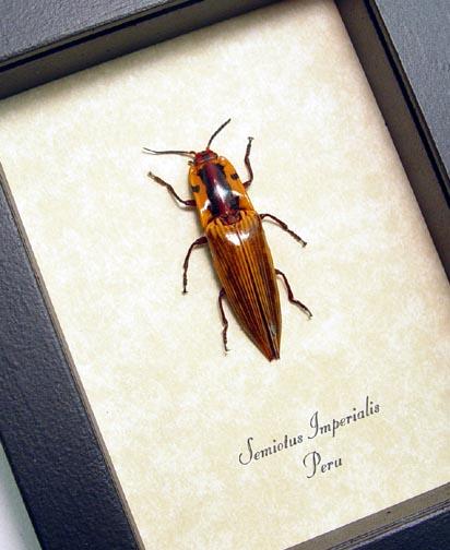 Semiotus imperialis Click Beetle