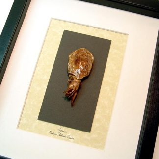 Cuttlefish - Sepia sp Most Intelligent of All Marine Invertebrates Real Framed