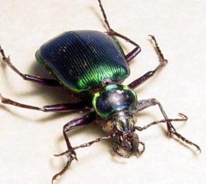 Calosoma scrutator Fiery Searcher Caterpillar Hunter Beetle