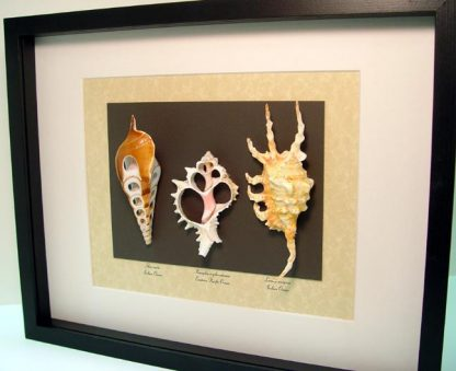 Exotic Seashell Collection Set of 3 predatory sea snails Shell Slice