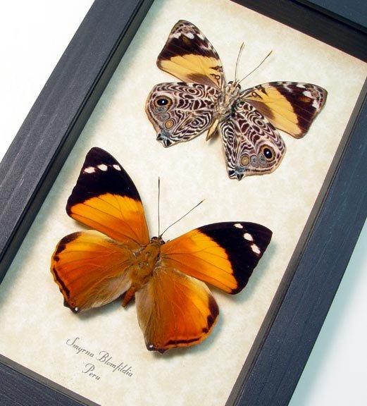 Smyrna blomfildia Pair Blomfild's Beauty Butterflies