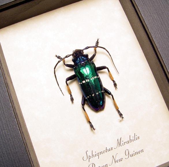 Sphignotus mirabilis Long Horn Beetle