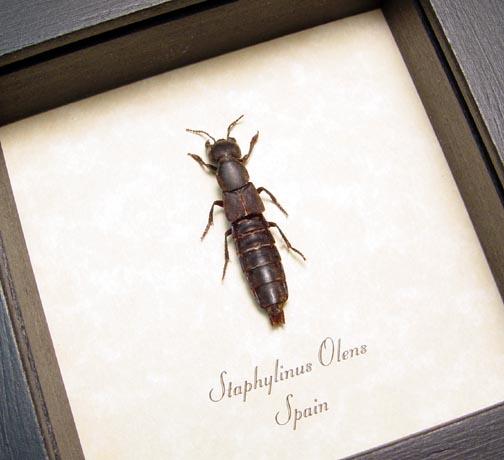 Staphylinus olens Devil's Coach Horse Beetle