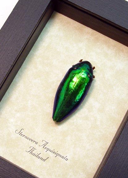 Sternocera aequisignata Bullet Beetle