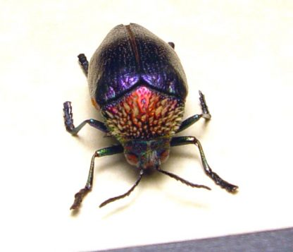 Sternocera pulchra fischeri Female Rainbow Jewel Beetle Real Framed Insect