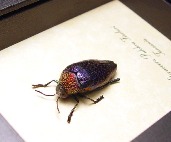 Sternocera pulchra fischeri Female Beetle