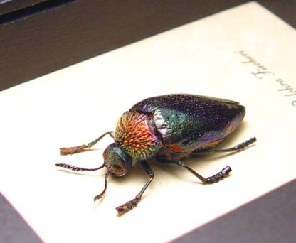 Sternocera pulchra fischeri Male Rainbow Jewel Beetle Real Framed Insect