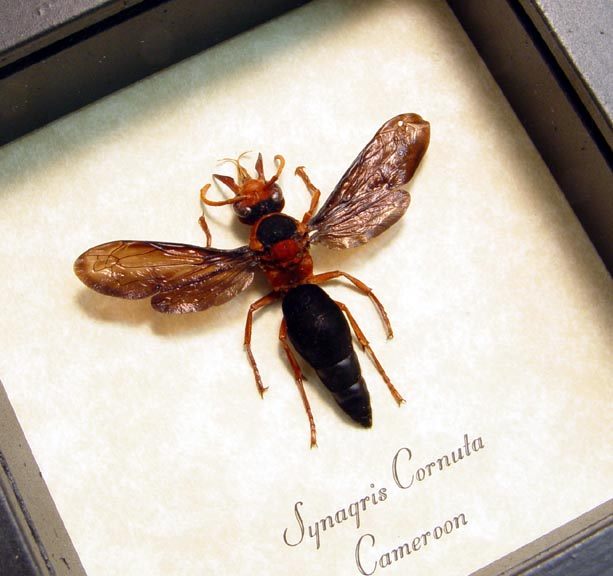 Synagris cornuta Female Tusked Wasp