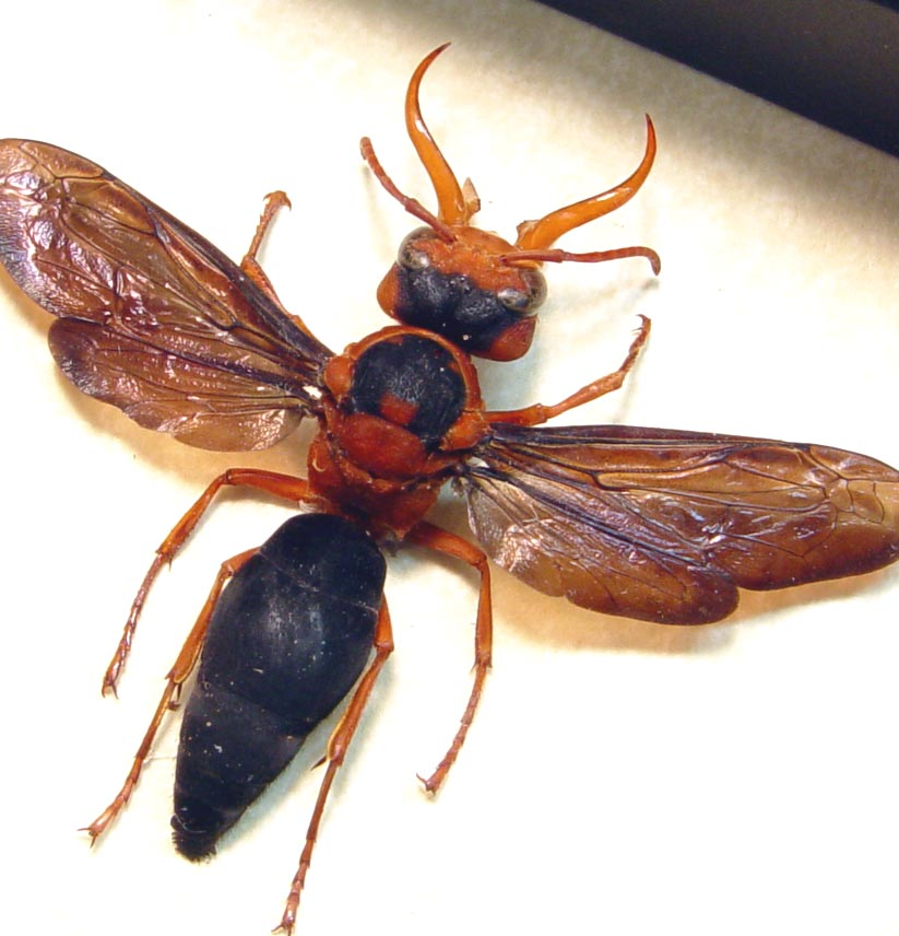 Synagris cornuta Male Tusked Wasp
