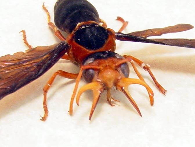 Synagris cornuta Male 36mm Tusked Wasp