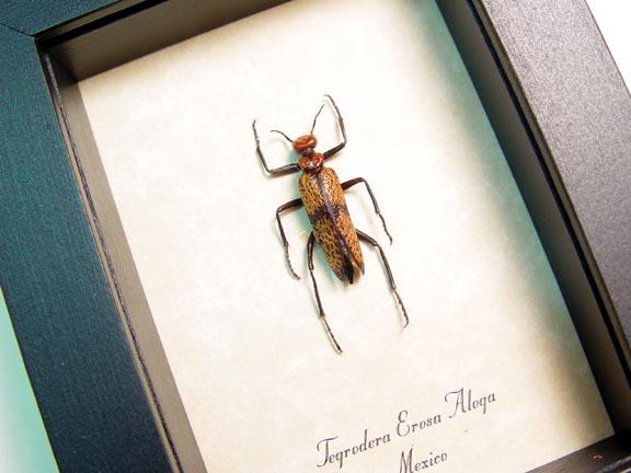 Tegrodera erosa aloga Blister Beetle