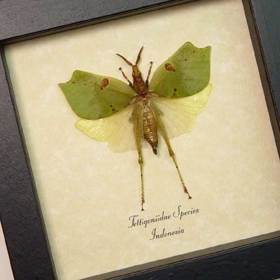 Tettigoniidae Green Katydid