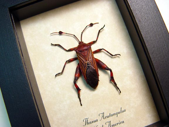 Thasus acutangulus Arizona Mesquite Bug