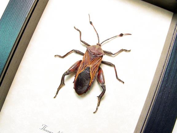 Thasus neocalifornicus Mesquite Bug