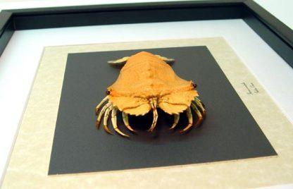 Thenus orientalis Flathead Lobster Rock lobsters Real Framed