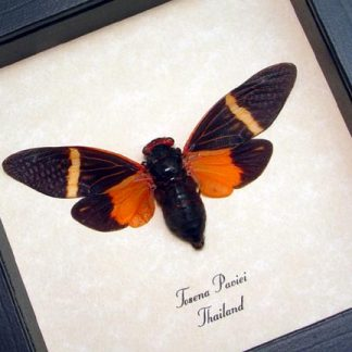Tosena paviei Orange Halloween Cicada Real Framed Insect