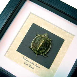 Trachemys scripta elegans Taxidermy Red-eared slider Turtle Real Framed