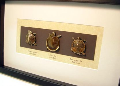 Turtles - Set Of 3 Collection Taxidermy Red-eared slider Turtle,Turtle Real Framed