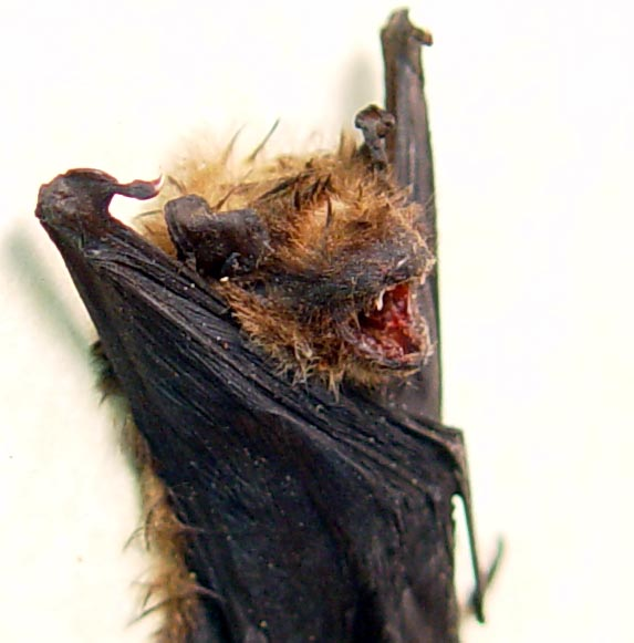 Tylonycteris pachypus Bamboo Bat Resting Real Framed Bat Display