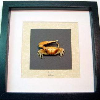 Uca vocans Fiddler Crab, Calling Crab, Real Framed Ocean Sea Life