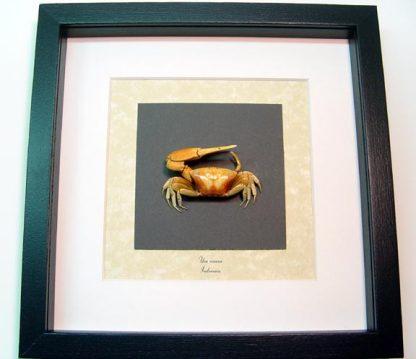 Uca vocans Fiddler Crab, Calling Crab, Real Framed Ocean Sea Life