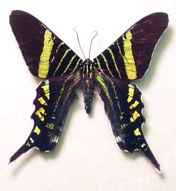 Urania fulgens Day Flying Moth