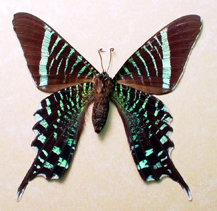 Urania fulgens verso Day Flying Moth