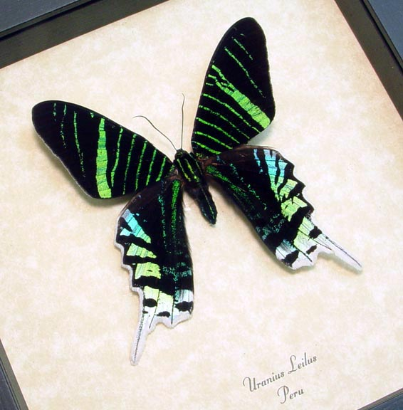 Urania Leilus Green Banded Urania Moth