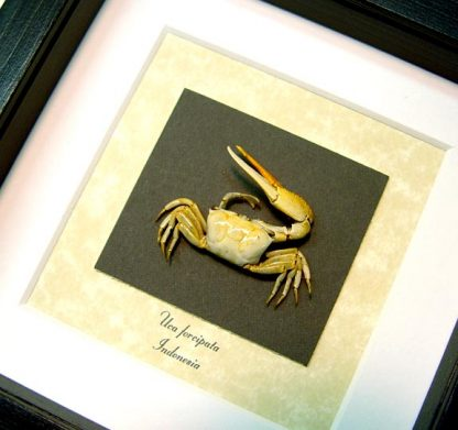 Uca forcipata Fiddler Crab, Calling Crab, Real Framed Display