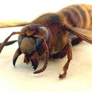 Vespa crabro Banded European Hornet Real Framed Insect