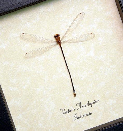 Vestalis amethysina Fairy Damselfly