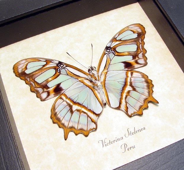 Malachite Butterfly Framed Victorina stelenes