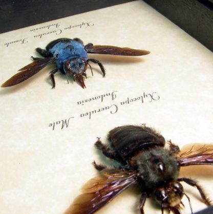 Bee - Xylocopa caerulea Bright Blue Carpenter Bee Pair Real Framed Insect