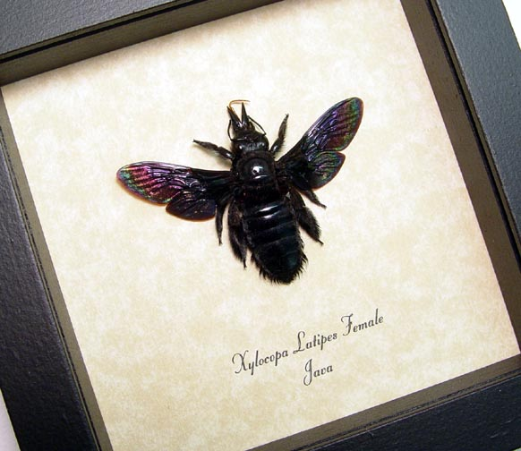 Xylocopa latipes Female Rainbow Bee
