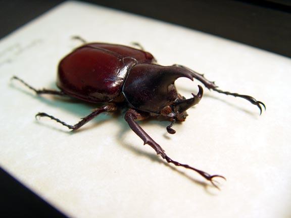 Xylotrupes florensis Rhino Beetle