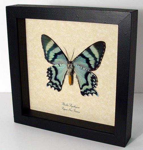 Alcidis agathyrus Verso Zodiac Moth