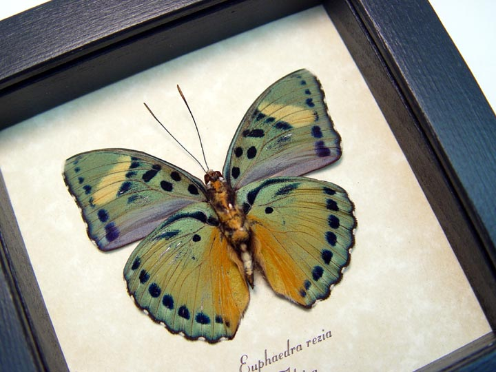 Euphaedra rezia Ceres Forester Butterfly