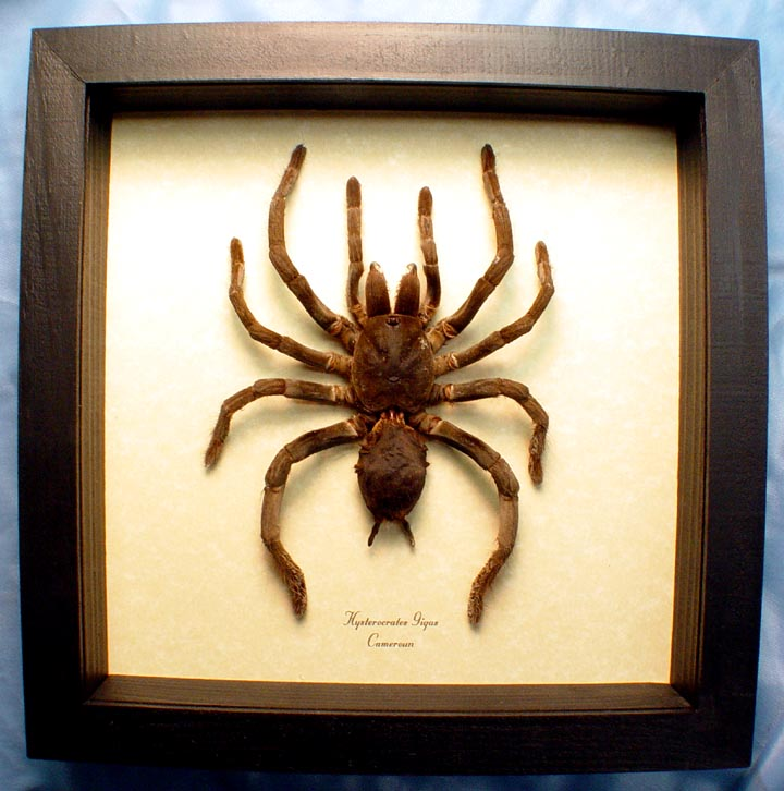 Hysterocrates gigas Rusty Red Baboon spider Framed Tarantula