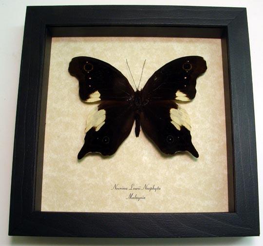 Neorina lowii neophyta Malayan Owl Butterfly