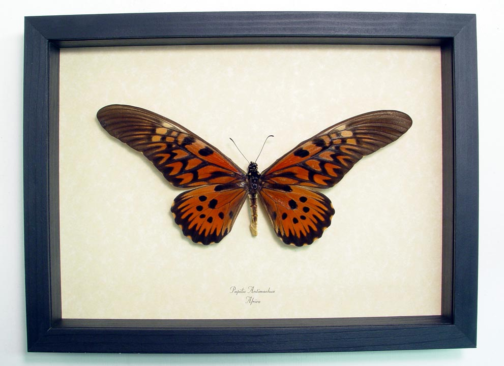 Papilio antimachus African Butterfly