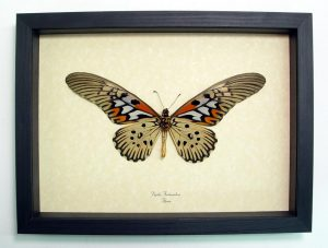 Papilio-antimachus-verso-Framed Butterfly Display by butterfly-designs
