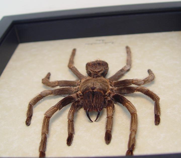 Acanthoscurria ferina Tarantula Spider