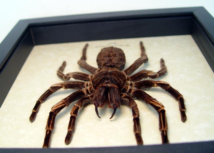 Acanthoscurria juruenicola Female Tarantula Spider