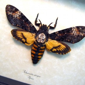acherontia-atropos-female-african-death-head-moth-real-framed
