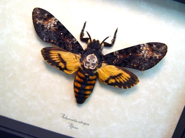 acherontia-atropos-female-african-death-head-moth
