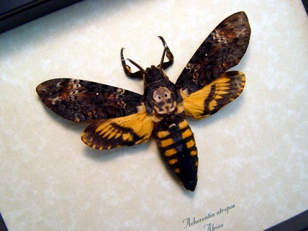 death head moth